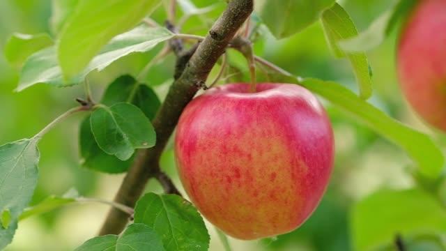 röd saftig äpple närbild - fruktträdgård bildbanksvideor och videomaterial från bakom kulisserna