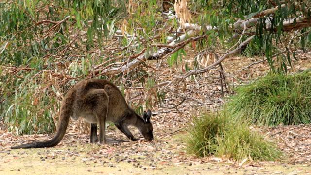 Rode kangoeroe, Macropus rufus, grazen video