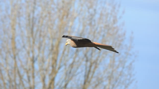 Red kite eagle bird Red kite eagle bird hovers in the air slow motion bird of prey stock videos & royalty-free footage