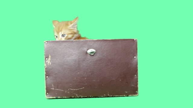 red kitten jumps video