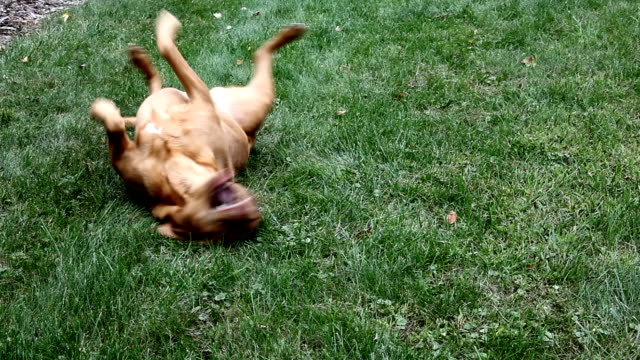 Red Lab Rolling In Grass Taken with Canon EOS 5d Mark II digital camera, ISO 100, f11, 28-135mm zoom lens, on tripod tail stock videos & royalty-free footage