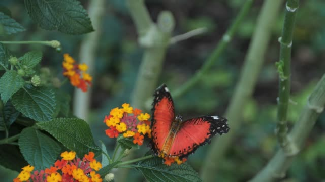 Red lacewing butterfly gently flapping wings and walking on a flower video