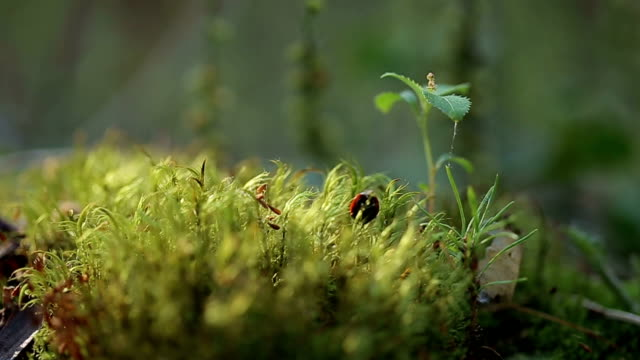 Red ladybug crawling on the moss. video