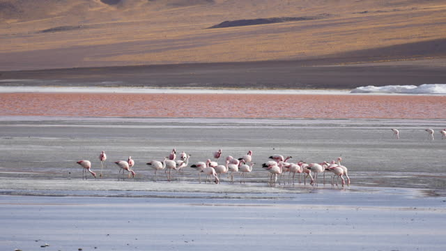 Red Lagune Atacama Bolivia with flamingos Post Stabalized Video, because its very windy in this area. red-colored microorganisms stain the lake red under certain wind conditions wasser videos stock videos & royalty-free footage