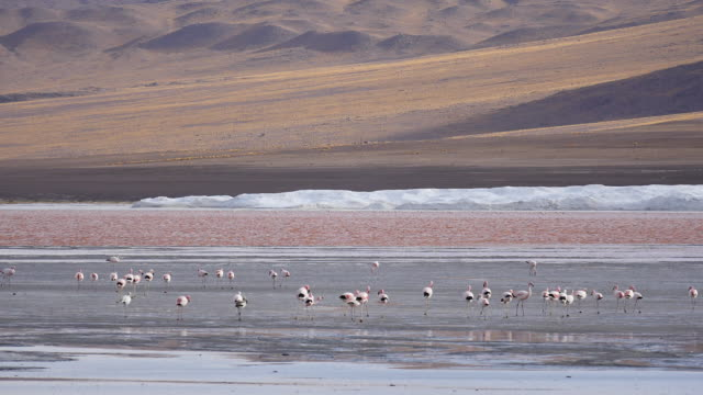 Red Lagune Atacama with flamingos in front Red Lagune Atacama Bolivia wasser videos stock videos & royalty-free footage