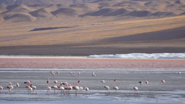 Red Lagune with flamingos Post Stabalized Video, because its very windy in this area. red-colored microorganisms stain the lake red under certain wind conditions wasser videos stock videos & royalty-free footage