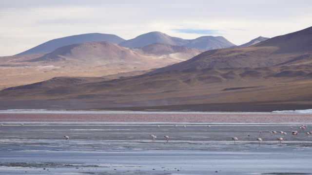 Red Lagune with manny flamingos Not stabalized Video, its very windy in this area. red-colored microorganisms stain the lake red under certain wind conditions wasser videos stock videos & royalty-free footage