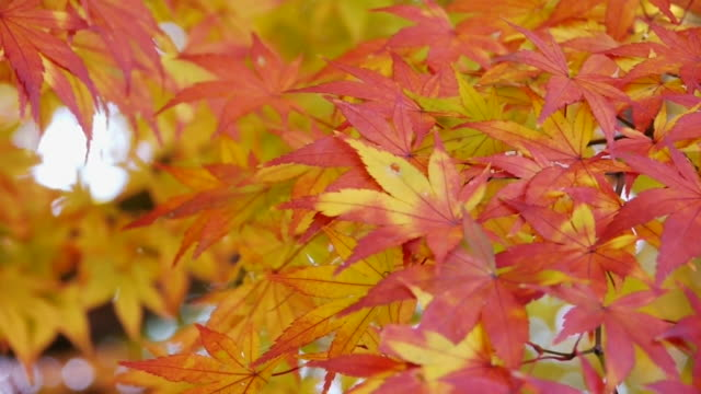 red leaves of Japanese maple video