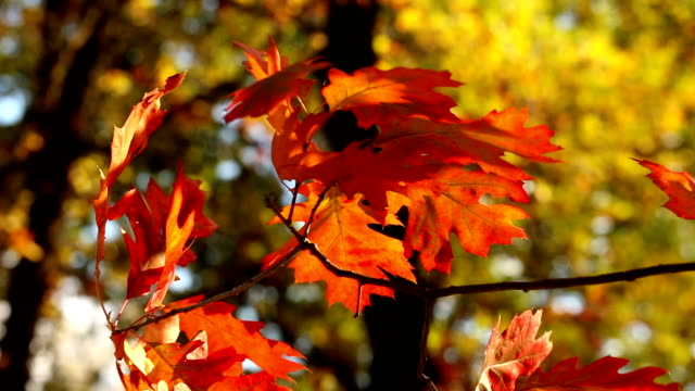 Red leaves on a branch against yellow in the autumn. video