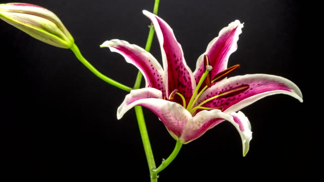 Red lily flower blooming in a 4K time lapse video on a blue background. Time lapse of Stargazer Lilium in motion.