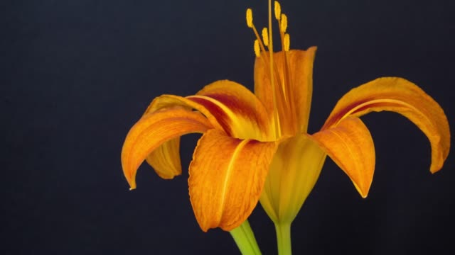 Red lily flower blooming in a time lapse video on a black background. Time lapse of Lilium in motion. - Stock 4K video