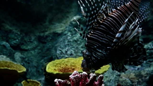red lion рыба - морской окунь стоковые видео и кадры b-roll