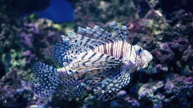 Red lionfish swimming. Scuba diving adventure underwater with tropical lion fish. Lionfish in the aquarium