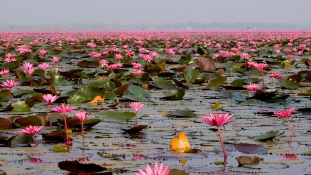 red lotus lake or talay bua daeng in udon thani, thailand - lilia filmów i materiałów b-roll