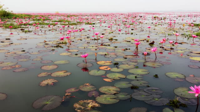 Red Lotus Sea video