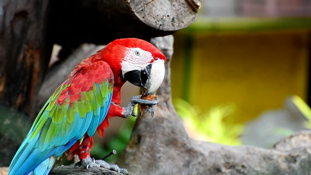 Red Macaw eats food video