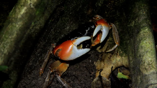 Red mangrove crab on beach video