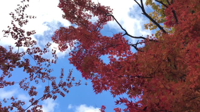 HD red maple leaf and blue sky in autumn at Sonota, Hara-mura, Suwa-gun, Nagano-ken japan Leaves color change ,autumn, red maple leaf, blue sky, Nagano-ken, japan maple leaf videos stock videos & royalty-free footage