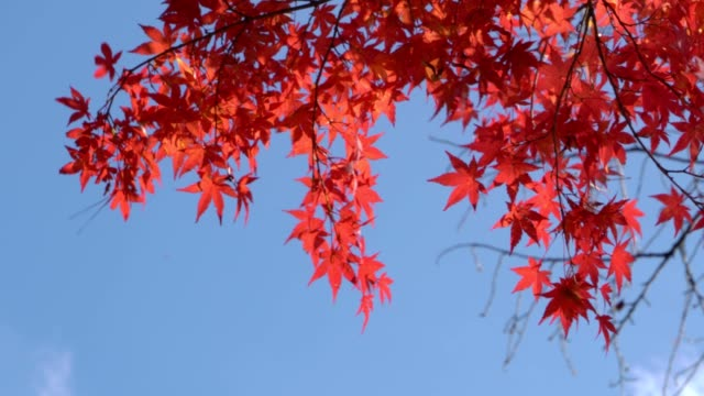 red maple leaf moving in the wind. red maple leaf moving in the wind. maple leaf videos stock videos & royalty-free footage