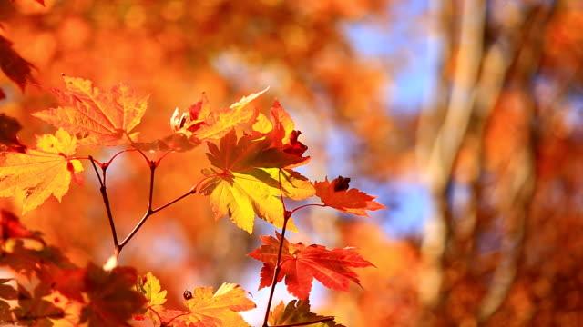 赤いカエデの葉 - 秋点の映像素材/bロール