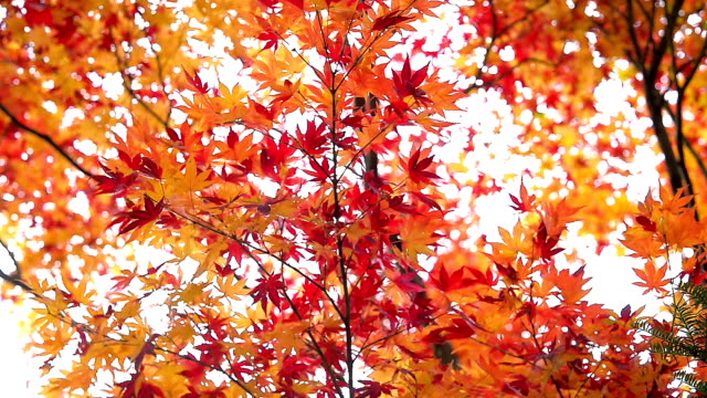 Red maple leaves in autumn Red maple leaves in autumn maple leaf videos stock videos & royalty-free footage