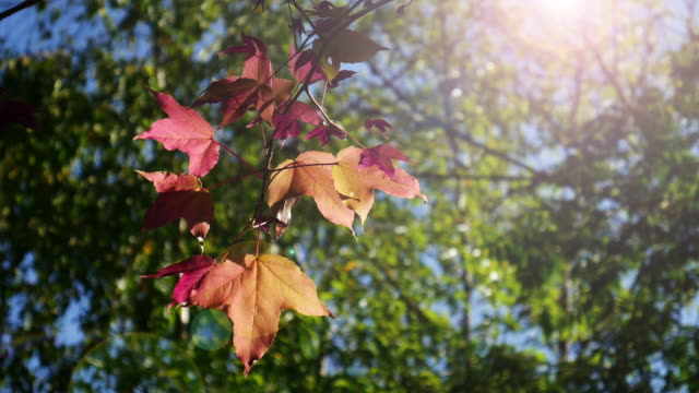 Red maple leaves on green leaf background , 4k(UHD) video