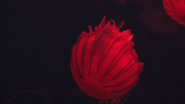 Red on black jellyfish 1 - HD 30F video