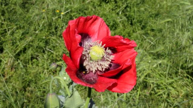 HD video red opium poppies Papaver somniferum growing at roadside video