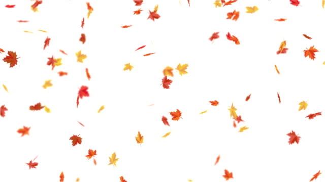 rote, orange, gelbe ahornblätter fallen herunter. - ahorn stock-videos und b-roll-filmmaterial