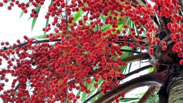 vídeos de stock, filmes e b-roll de sementes de palma vermelhas que crescem toda a árvore no jardim na estação da chuva - punhado