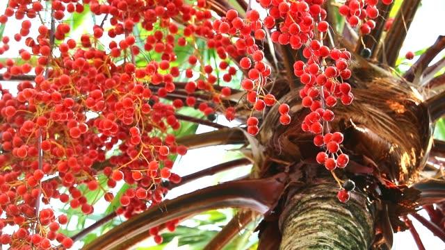 vídeos de stock, filmes e b-roll de sementes de palma vermelhas que crescem em torno de toda a árvore no jardim na estação da chuva - punhado