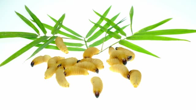 Red palm weevil larvae on bamboo leaves background