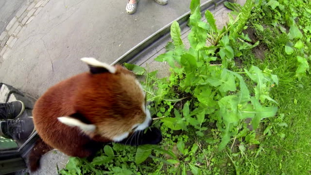 Red Panda at a Zoo video