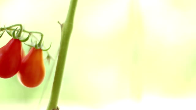 Red pear tomatoes video