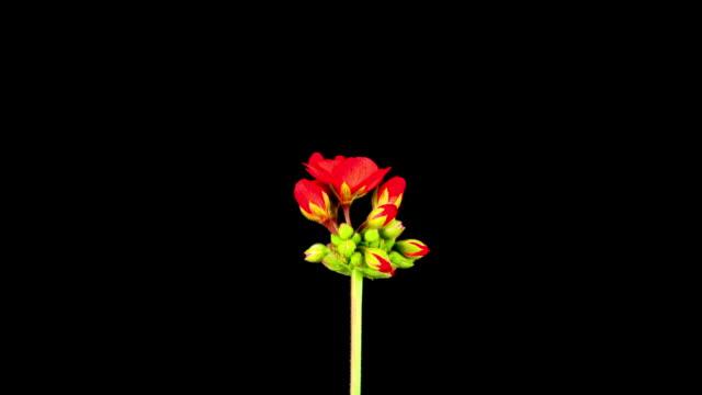 Red Pelargonium blooming; TIME LAPSE video