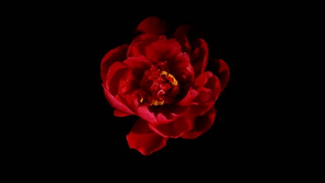 Red Peony Flowering Timelapse video