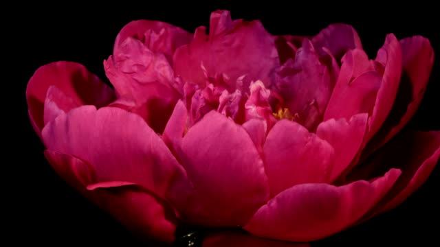 Red Peony Flowering Timelapse video