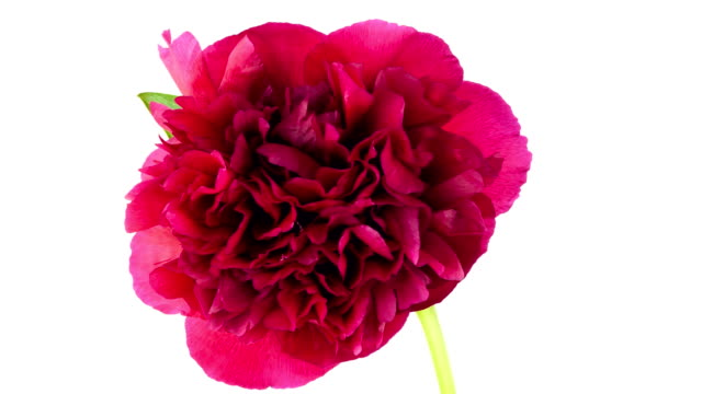 Red Peony; TIME LAPSE video