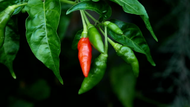 red pepper red hot pepper at a vegetable garden chili pepper stock videos & royalty-free footage