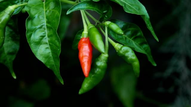 peperone rosso - peperoncino video stock e b–roll