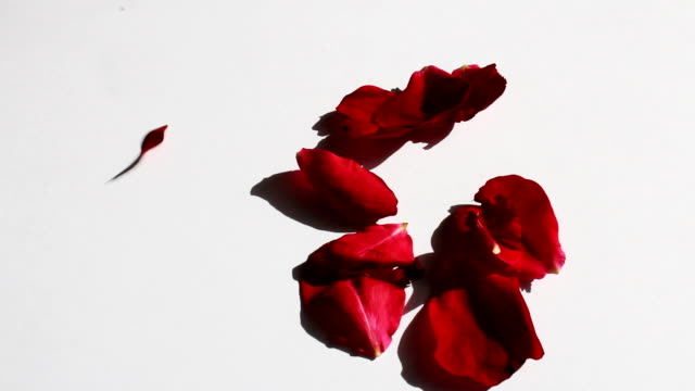 Red petal fall on white background