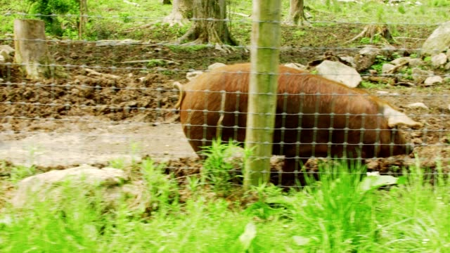 red pig walking around pen video