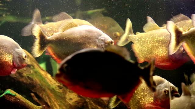 Red piranhas in aquarium video