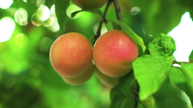 Red plum on tree Red plum on tree plum stock videos & royalty-free footage