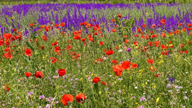Red poppies and wild flowers on green meadow video