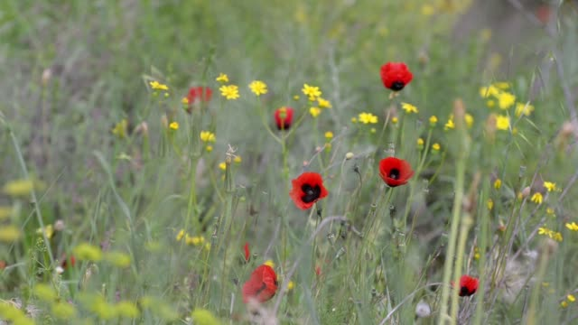 Red poppies and yellow flowers on a background of green grass blowing in the breeze