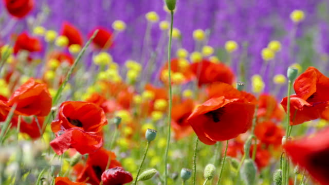Red poppies and yellow wild flowers in the wind video