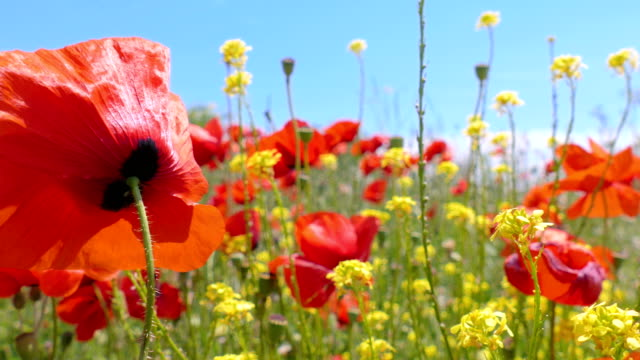 Red poppies and yellow wildflowers video
