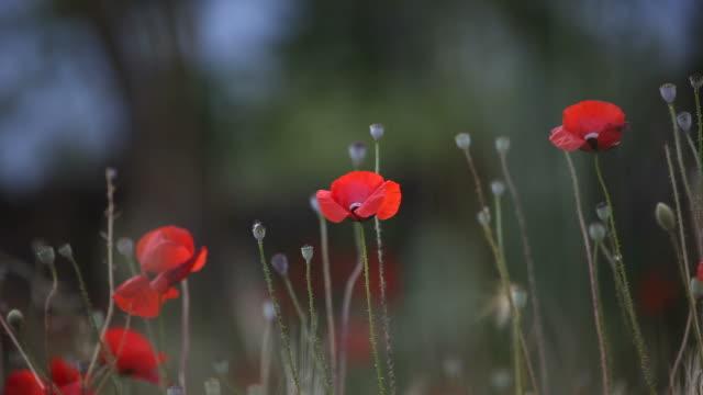 Red Poppies In Barley Field Swinging In Wind video