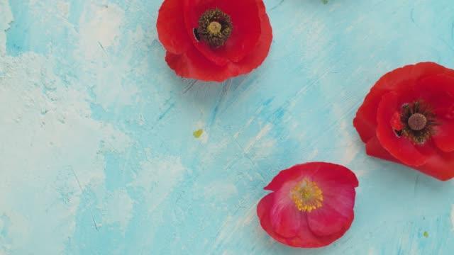 vídeos y material grabado en eventos de stock de amapolas rojas sobre un fondo azul - amapola planta